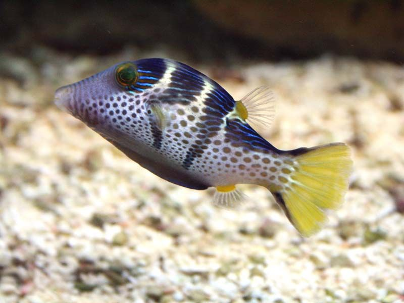 Canthigaster à selle